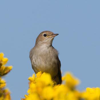 Short essay on nightingale bird in hindi - ISCMAB